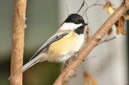 Chickadee by Billie Stechyshyn