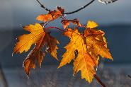 Maple Leaf by Billie Stechyshyn