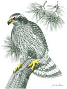 Goshawk by John Paul Lavand